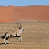 Southern Oryx or Gemsbok - 5 - Version 2