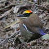The tour includes an optional extension, on which a highlight this year was fantastic looks at Malalyan Banded-Pitta. (Photo by participant George Sims)