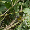 An endemic White-lored Warbler peeks out of the vegetation. (Photo by participant Sandy Paci)