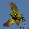 ...and the gregarious Green Parakeets. (Photo by guide Chris Benesh)
