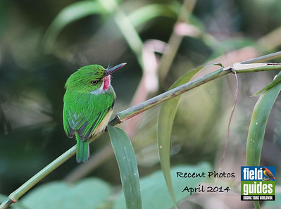 Lots of tours to cover in this month's Recent Photos! What's this little gem? It's a Puerto Rican Tody, photographed by guide Eric Hynes on our recent tour. Let's dive into the gallery by beginning with our various island tours...enjoy!