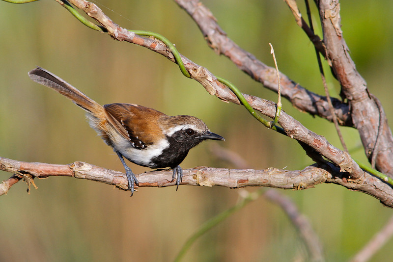 Rusty-backed Antwren is one of numerous attractive antbirds possible on the tour. (Photo by guide Marcelo Padua)