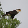 Crested Caracara is a characteristic raptor of the open country. (Photo by guide Chris Benesh)