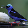 Red-legged Honeycreeper 20140223 Gamboa Panama