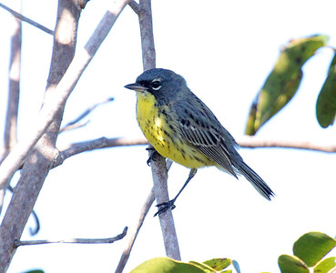 We head to the Bahamas for its endemics and specialties, of course, and one of these is wintering Kirtland's Warblers -- guide Jesse Fagan has discovered their secret and has made seeing them a regular feature of our trip. Here's one from this year! (Photo by guide Jesse Fagan)
