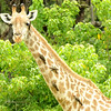 Common Giraffe with Oxpeckers - 1
