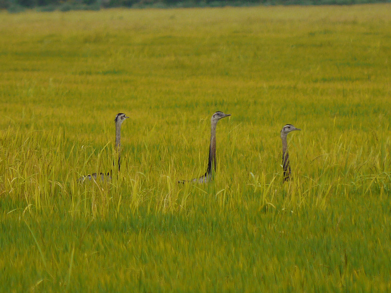 We love this image of Greater Rheas...like snakes in the grass! (Photo by participants David & Judy Smith)