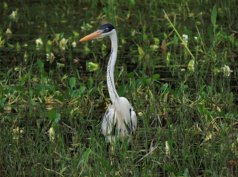 The Pantanal section of this tour is a fantastic place to see all kinds of waterbirds, including Cocoi Heron. (Photo by participant Max Rodel)