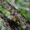 Hispaniolan Woodpecker (Photo by participant Brian Stech)