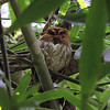 Puerto Rican Screech-Owl (Photo by guide Eric Hynes)