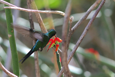 The larger Puerto Rican Emerald is restricted just to PR. (Photo by guide Eric Hynes)