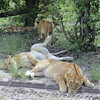 These lions were too busy lazing and seemed non-plussed by our presence though they kept a careful eye. We stayed in the vehicle, of course...! (Photo by participant Linda Riehl)