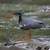 Sunbittern along the stream at the Canopy Lodge (Photo by participant Francois Grenon)