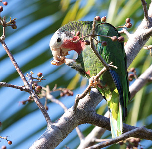 """The """"Cuban"""" Parrot in the Bahamas is somewhat different from the birds in Cuba -- more white in the face, a different voice, and it nests in limestones cavities -- and may well be split in the future. (Photo by guide Jesse Fagan)"""