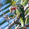 "The ""Cuban"" Parrot in the Bahamas is somewhat different from the birds in Cuba -- more white in the face, a different voice, and it nests in limestones cavities -- and may well be split in the future. (Photo by guide Jesse Fagan)"