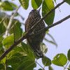 The very cool Spotted Piculet is also restricted to eastern Brazil. (Photo by participants David & Judy Smith)