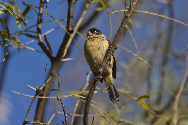 White-collared Seedeater isn't exactly eye candy, but it's one of the most-wanted birds on a birding trip to the Valley since it just barely gets over the border into the US. (Photo by guide Chris Benesh)