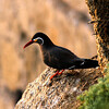 Guides Marcelo Padua and Peter Burke took our group from the Chilean coast, where the amazing Inca Tern can be found... (Photo by guide Marcelo Padua)