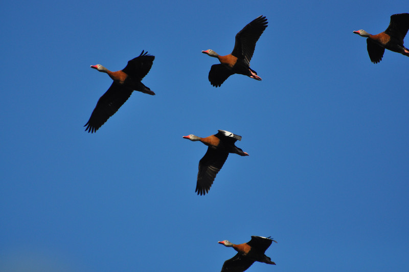 Black-bellied Whistling-Ducks make a lovely sight in flight, and we can just see a bit of the white on the upperwing in this image by participant Bob Keener.