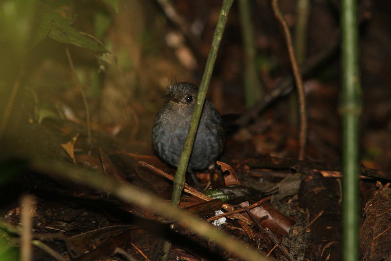 Slaty Bristlefront can be very tough to see, but this one came in close enough for us to see how it got its name! (Photo by guide Marcelo Padua)