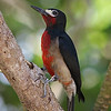 Puerto Rican Woodpecker (Photo by guide Eric Hynes)