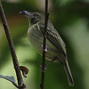 Southern Bentbill is one of the more unusual small flycatchers, and this photo by participant Francois Grenon shows the strange bill well.