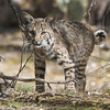 This fine Bobcat put in a surprise appearance for one of our groups. (Photo by guide Chris Benesh)