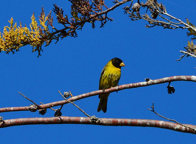 Antillean Siskin is a bit of a broad brush for a name: this one's restricted to Hispaniola and can be found in the Dominican Republic's Sierra de Baoruco. (Photo by participant Brian Stech)