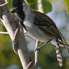 And that goes ditto for Silvery-cheeked Antshrike. (Photo by participants David & Judy Smith)