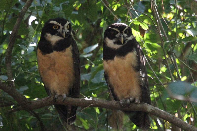 A spectacular Spectacled Owl twosome at a dayroost in El Valle de Anton (Photo by participant Francois Grenon)
