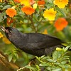"""Participant Sandy Paci brought home this image of a Black Flowerpiercer about to pierce a flower's corolla and """"steal"""" some nectar (without pollinating the flower)."""