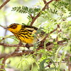 Boreal migrants are common on the islands in winter: here's a brilliant Cape May Warbler in the Dominican Republic. (Photo by participant Jason Leifester)