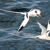 These White-tailed Tropicbirds gave our group some fine views off the D.R. -- they are fairly widespread in the Caribbean. (Photo by participant Jason Leifester)