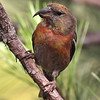 And with the unexpected pines comes an endemic on a familiar theme: Hispaniolan Crossbill. (Photo by participant Jason Leifester)