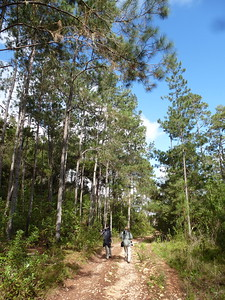 Perhaps not the habitat one expects in the Caribbean: birding in the pine forest above Zapoten in the D.R.'s Sierra de Baoruco. (Photo by participant Jason Leifester)