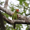 The aptly-named Red-masked Parakeet (Photo by participant John Drummond)