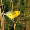 It's always a great day seeing a Prothonotary Warbler... (Photo by participant Judy McBay)