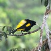 Yellow-rumped Cacique -- these are colonial birds, and they make quite the racket around their favored trees, filled with hanging nests. (Photo by participant Larry Peavler)