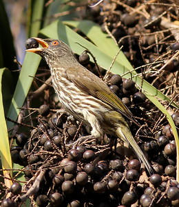 Our next stop is the Dominican Republic, where among the numerous endemics is Palmchat, in a bird family entirely its own! (Photo by participant Jason Leifester)