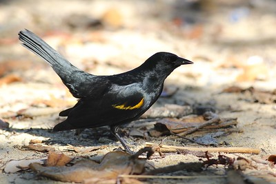 An island variation on the Red-winged theme: Yellow-shouldered Blackbird (Photo by guide Eric Hynes)
