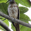 The Dominican Republic tour features its own endemic raptor, too: Ridgway's Hawk! (Photo by participant Jason Leifester)