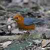 The beautiful Orange-headed Thrush at Khao Yai (Photo by guide Dave Stejskal)