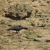 Another uncommon species: Red-naped Ibis (Photo by guide Terry Stevenson)