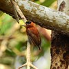Participant Max Rodel did well to capture this diminutive Chestnut Piculet, a woodpecker with a range limited to northern Colombia and adjacent Venezuela.