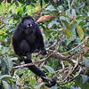 This soloist is a Mantled Howler Monkey. Photo by participant Paul Bisson.
