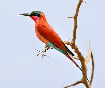 Not to be outshone by the opening roller, this Southern Carmine Bee-eater is dazzling in its own right. Photo by participant Cliff Hensel.