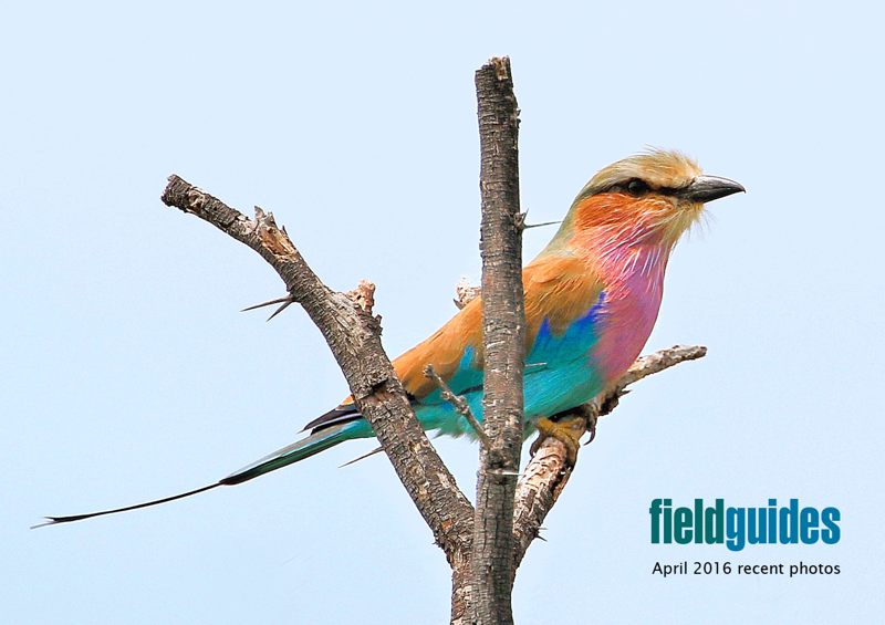 We begin our April gallery with this lovely image by participant Cliff Hensel of a Lilac-breasted Roller, one of the quintessential birds of Africa and among the many highlights from our Namibia & Botswana tour with guide Terry Stevenson.