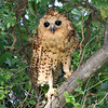 Pel's Fishing-Owl is a much-wanted bird on any Namibia & Botswana tour -- it's a worthy quest, as this image by participant Cliff Hensel shows.
