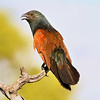 These two unusual shades of green and rust make for a quite attractive Black Coucal. Photo by participant Cliff Hensel.