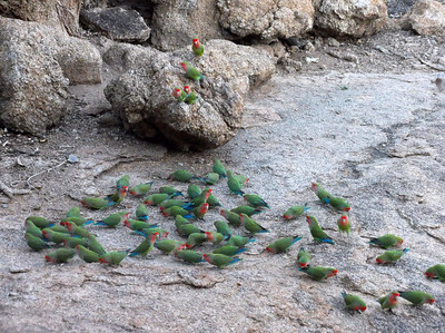 We wrap up our Namibia/Botswana images with this flock of Rosy-faced Lovebirds by participant Martha Vandervoort.